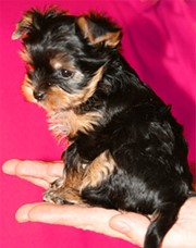 Yorkie puppy color change