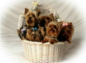 yorkie price how much does a yorkie puppy cost yorkshire terrier price 240