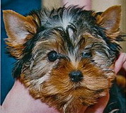 Yorkshire terrier changing colors