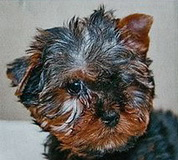 Classic steel coloured Yorkshire terrier