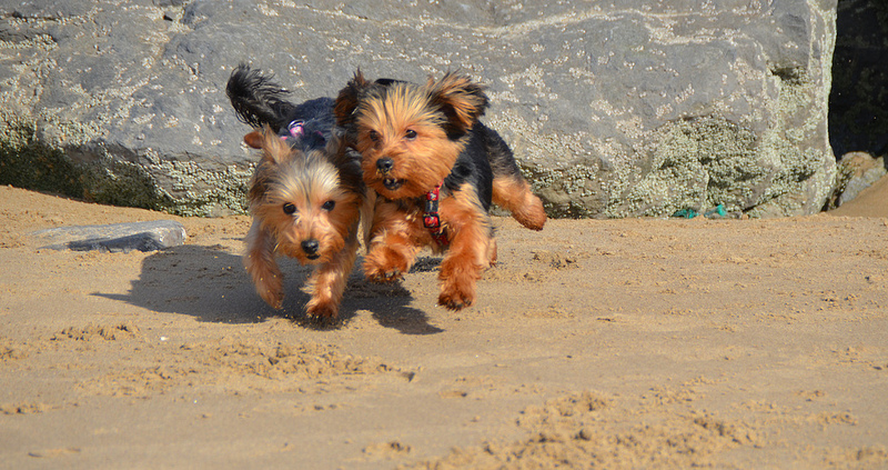 Two Yorkies playing