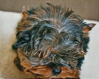 Yorkie with dark steel colour as adult