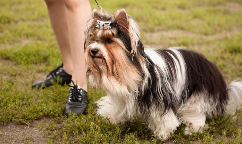 What is a Parti Yorkie? Everything you need to know