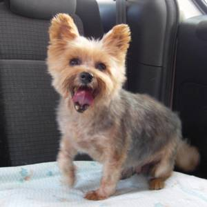 Yorkshire terrier puppy cut guide