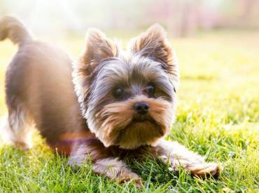 Yorkie Puppy Cut. Yorkshire Terrier Puppy Trim