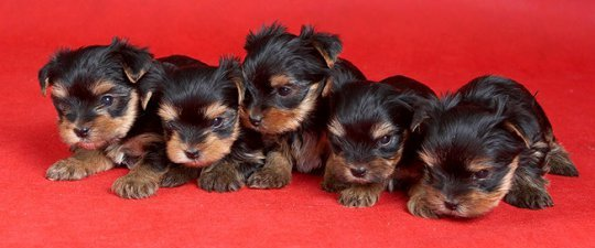 yorkie price how much does a yorkie puppy cost yorkshire terrier price 5696