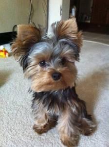 Yorkie Puppy Cut Yorkshire Terrier Puppy Trim Yorkielife