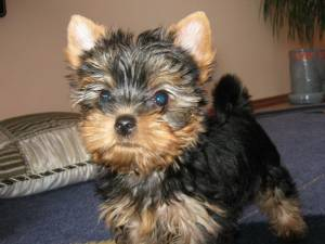 How Much Is A Purebred Yorkie