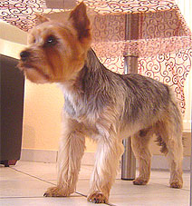 Advantages of Yorkie puppy cut