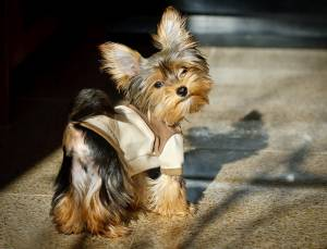 Cute mini Yorkie