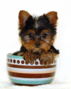 teacup Yorkie in a cup