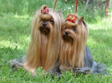 Do Yorkshire Terrier Dogs Shed? Do Yorkies Shed A Lot?