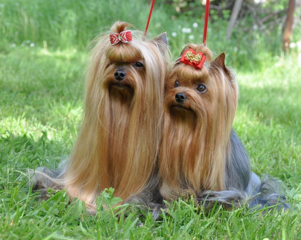Do Yorkshire Terrier Dogs Shed Yorkies A Lot