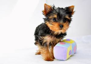 The Truth About Teacup Yorkies Everything You Need To Know About