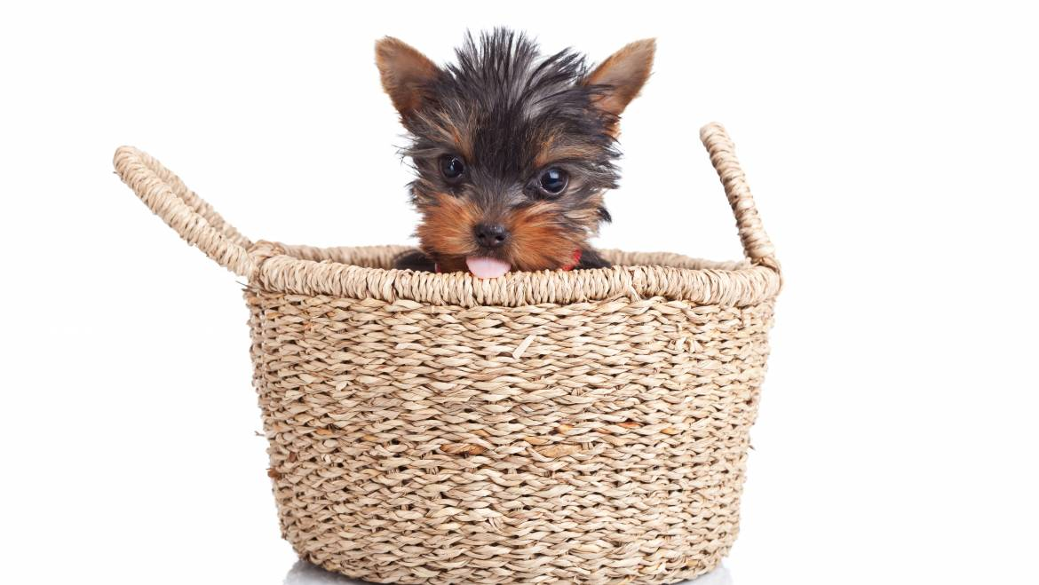 The Truth About Teacup Yorkies. Everything You Need To Know About Teacup, Mini, Micro And Toy Yorkshire Terriers.