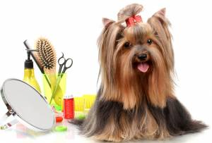 Yorkie hair tips
