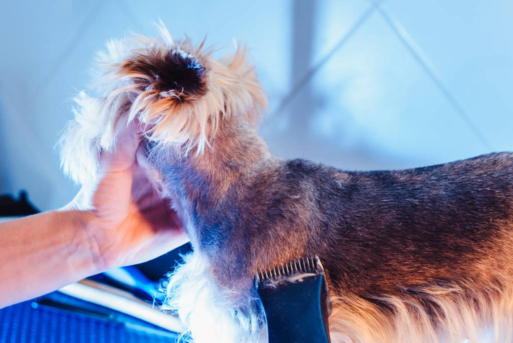 Yorkshire Terrier Trimmed