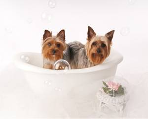 Yorkies in the bathtub