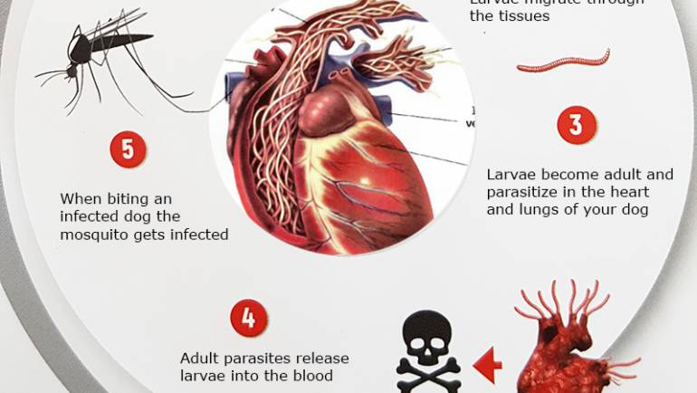 Heartworm (Dirofilariasis) – Serious and potentially deadly disease  that can be prevented