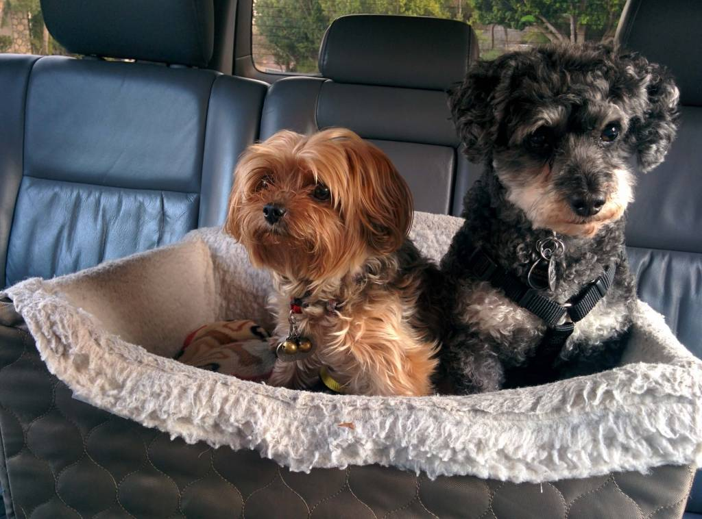 Yorkies in a car