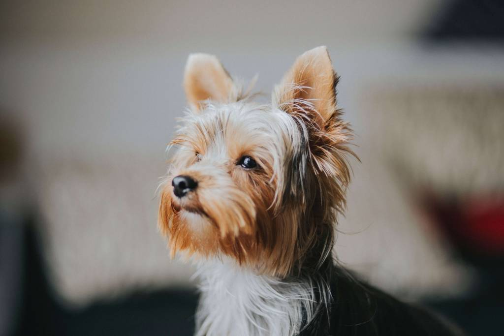 Anxious Yorkshire terrier